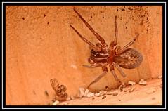 """Arachtober the 31st..."" #1 (NikonShutterBug1) Tags: nikond7100 tokina100mm entomology nature wildlife bokeh spe smartphotoeditor closeup macro spider insects arachnology araneology web arachtober"