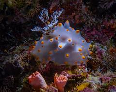 IMG_7660 (Gary R. Hughes) Tags: horseshoe okinawa photography dive nature nudibranch scuba underwater