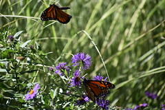Monarch in flight (Overduebook) Tags: sunkengardenslincoln monarch butterfly butterflies flowers flower