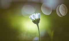 Daisy (Dhina A) Tags: sony a7rii ilce7rm2 a7r2 a7r kmz helios33 helios 33 35mm f2 vintage moviecamera lens cine swirl swirly bokeh manualfocus