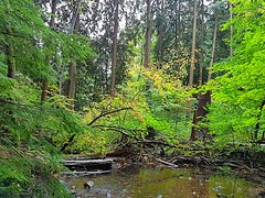 The creek on a rainy day (walneylad) Tags: princesspark northvancouver britishcolumbia canada park parkland urbanpark woods woodland forest urbanforest rainforest trees logs moss ferns leaves trail october fall autumn afternoon rain clouds color colour brown yellow green view scenery nature water creek brook stream rocks