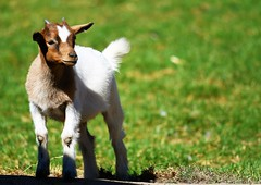 Trop mignon ! (cheyennemercier) Tags: animal biquette pairidaiza beautiful