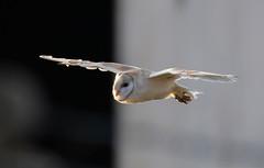Barn Owl nr Fakenham-3435 (seandarcy2) Tags: owls raptors birdsofprey barnowl norfolk uk dawn wildlife wild bif handheld