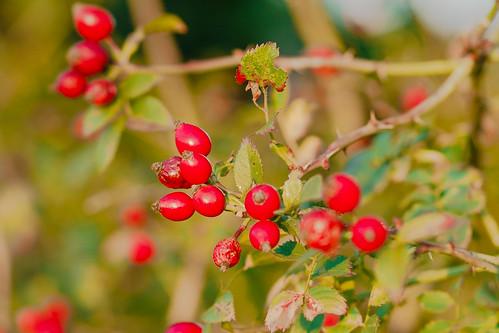 Wild red berries