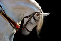 Horse (Marion_Sc) Tags: nikon nikkor 55300mm photographie photography animalière animalier animalia animal horse cheval oeil eye équidé equus mammifère mammal equidea portrait extérieur nice hippique 2018 french riviera