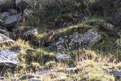 murmel, murmel (dadiolli) Tags: mosoinpassiria trentinosüdtirol italien it groundhog südtirol meranerhöhenweg altaviadimerano hiking alps alpen wandern southtyrol altoadige murmeltier itsazoooutthere