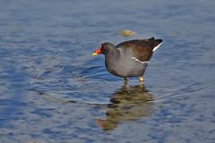 Waves (R.D. Gallardo) Tags: waves pajaro bird wild life salburua vitoria lake canon eos 6d eos6d raw sigma 150500
