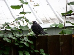 Blackbird, Cedar Walk, Upper Cwmbran 16 October 2018 (Cold War Warrior) Tags: turdusmerula blackbird cwmbran