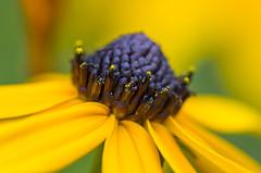 Detail of a Black Eyed Susan (s.d.sea) Tags: flower black eyed susan yellow pollen macro summer petals soft focus klahanie pentax k5iis washington washingtonstate wa issaquah pnw pacificnorthwest