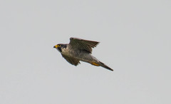 7K8A8229 (rpealit) Tags: scenery wildlife nature state line lookout peregrine falcon bird
