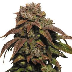 green-crack-seeds-feminized_large (Watcher1999) Tags: marijuana growing cannabis green crack weed california jamaica medical strains strain stress seeds cannaculture bob marley weeds smoking ganja legalize it reggae