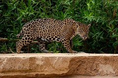 Surprise Encounter (fascinationwildlife) Tags: animal mammal wild wildlife na nature banks river jaguar cat predator elusive shy female brazil brasilien south america südamerika natur national pantanal