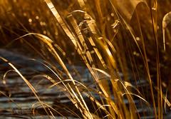 Blustery day (marianna armata) Tags: blustery wind grass gold movement motion blur p2850728 autumn fall leaves mariannaarmata