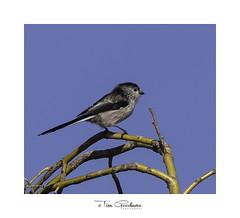 Long tailed tit (timgoodacre) Tags: bird birds birdportrait birdlife wildbird nature ngc wildlife wild wildanimal long tailed tit longtailedtit