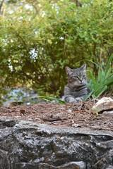 Camille in her hiding spot (rootcrop54) Tags: camille female mackerel tabby spirea hidingspot dof stone wall neko macska kedi 猫 kočka kissa γάτα köttur kucing gatto 고양이 kaķis katė katt katze katzen kot кошка mačka gatos maček kitteh chat ネコ