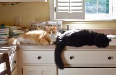 counter space (rootcrop54) Tags: jimmy orange ginger tabby male batman fluffy tuxedo black kitchenn counter countertop window sunny sunshine neko macska kedi 猫 kočka kissa γάτα köttur kucing gatto 고양이 kaķis katė katt katze katzen kot кошка mačka gatos maček kitteh chat ネコ cc100 cc200