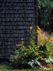 ... (Jean S..) Tags: rural green yellow grass blooming bloom flower barn
