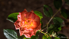 Rose lighted from behind (Milen Mladenov) Tags: 2018 flower flowers garden green leaves light lighted macro pink plant red rose roses rosesilluminated topview