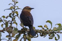 Rusty Blackbird / Quiscale rouilleux (shimmer5641) Tags: euphaguscarolinus rustyblackbird quiscalerouilleux zanatecanadiense icteridaefamily blackbirdsandorioles birdsofbritishcolumbia birdsofnorthamerica