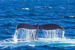 whale5Oct5-18 (divindk) Tags: anacapa anacapaisland channelislands channelislandsnationalpark humpbackwhale megapteranovaeangliae sanmiguelisland santabarbara santacruzisland santarosaisland underwater ventura blueocean cetacean diverdoug flukes marine marinemammal ocean reef sea underwaterphotography whale whaletail
