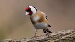 Goldfinch (doranstacey) Tags: nature wildlife birds goldfinch tamron 150600mm nikon d5300