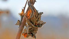 autumn leaf (karinrogmann) Tags: macromondays october22 leaf blatt autumn herbst crinkled wrinkled folded creased