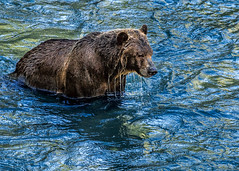 An eye out for fish (docoverachiever) Tags: female bear grizzly nature river mammal water wildlife drip canada buteinlet britishcolumbia fishing animal ecotourism northamericanbrownbear ursusartoshorribilis flickrchallengegroup flickrchallengewinner