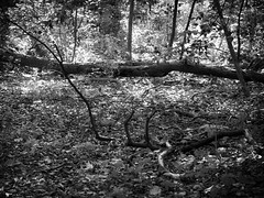 Daunting Invitation (RandallMcRoberts) Tags: artphotography bw blackandwhite fineartphotography limbs logs monochrome trail trees woods