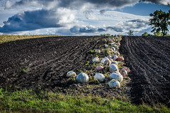 Panorama of pumpkin field. Ripe pumpkin fruits lie on the field (ivan_volchek) Tags: agriculture beautiful blue bright cloud clouds color colorful country countryside crop desert farm field grass green growth harvest hill land landscape meadow mountain natural nature orange outdoor outdoors panorama plant pumpkin pumpkinfruits pumpkins pumpkinsfield ripe rock rural russia season sky summer view yellow
