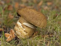 Paddestoel - Ockenburg (mariandeneijs) Tags: paddenstoel paddestoel toadstool mushroom fungi ockenburg bos ockenburgsebos landgoedockenburg