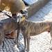 Hunde der Rasse Windhunde an sonnigem Tag in Lissabon