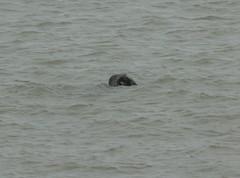 IMG_4984 (monika.carrie) Tags: monikacarrie seals wildlife scotland aberdeen