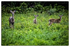 White Tail Deer _DSC7179 photoshop NIK edit 2 © (nkatesphotography) Tags: bombayhookwildliferefuge smyrnade nikond5 tamron150600mmg2 nikonsu800 nikonsb5000speedlight nature wildlife whitetaildeer