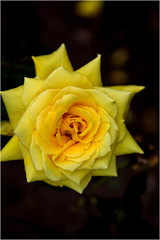 Yellow rose!! (SHAN DUTTA) Tags: macro yellow flowerhead rose beautiful canon 2016 garden petal