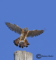 Kestral with Catch (raineys) Tags: americankestral bird nature wildlife wings flight sanbenitocounty california