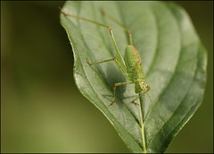 Green cricket (catb -) Tags: france saintgeniès cricket insect macro dordogne