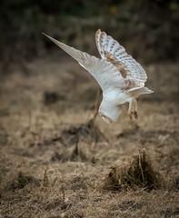 Barnie dive (dickiebirdie68) Tags: owl barn bird flight hovver feathers white beautiful wildlife nature natural woodland suffolk prey flying nikon d850