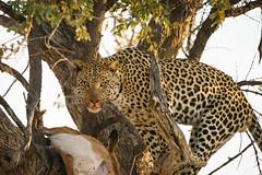 Leopard Feasting on Impala, Botswana (Mark Zukowski) Tags: leopard tree botswana impala africa wildlife branches wildlifephotography ngc