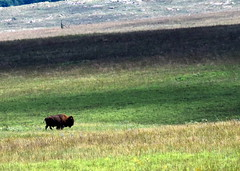 2018 - Vacation - Wichita Mountains Wildlife Refuge 2 (zendt66) Tags: zendt66 zendt nikon d7200 wichita mountains wildlife refuge lawton oklahoma bison nikkor 200500mm buffalo