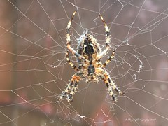An angulate orb Weaver. (dinaboyer) Tags: orbweaver spider araneus