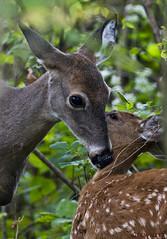 100718164523asmweb (ecwillet) Tags: wildwoodparkharrisburgpa deer nikon nikond800e nikon200500f56 ecwillet ericwillet
