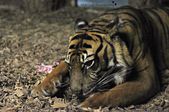 tiger (MiChaH) Tags: diergaarde dierentuin zoo blijdorp rotterdam 2018 dieren animals wild tijger