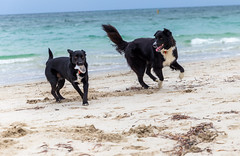 Sock! (Jared Beaney) Tags: canon6d canon southwest westernaustralia australia photography photographer beach ocean sand water dog dogs puppy puppies kelpie bordieshepie bordercollie x germanshepherd cross