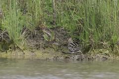 The Returned DSC_5823 (BlueberryAsh) Tags: craigieburn lathamssnipe bird snipe wader australianbird threatenedbird