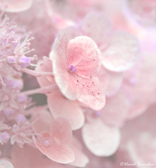 Pretty In Pink (Dave Snowdon (Wipeout Dave)) Tags: canoneos80d davidsnowdonphotography flowers plant lostgardensofheligan cornwall hydrangea macro creative