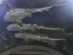 rotterdam_7_016 (OurTravelPics.com) Tags: rotterdam sharks stingray shark tunnel oceanium diergaarde blijdorp zoo