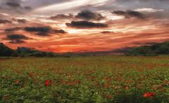 campo de flores (azucena G. De Salazar) Tags: sunset atardecer loreak flores amapolas color nubes