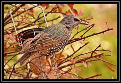 """Starling Solo..."" (NikonShutterBug1) Tags: nikond7100 tamron18400mm birds ornithology wildlife nature spe smartphotoeditor birdfeedingstation bokeh wings starling birdsfeeding sundaylights"