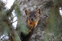 Pine Marten in Tree (mobull_98) Tags: pinemartenintree pinemarten marten