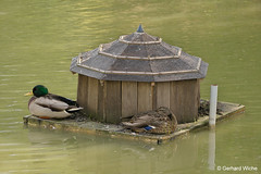 Entenpaar am Inselring (GerWi) Tags: duck ente teich wasser entenhaus